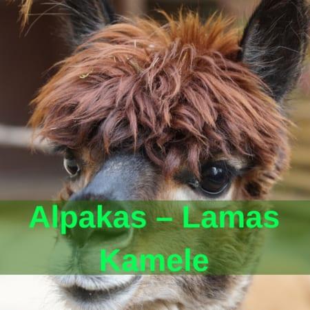 Alpakas - Lamas - Kamele