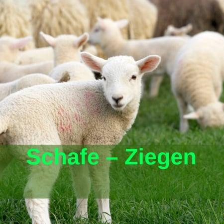 Schafe - Ziegen