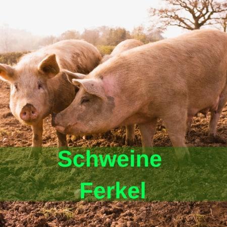 Schweine - Sauen - Moren - Eber - Ferkel